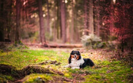 Preview wallpaper Australian shepherd, canine, grass