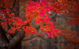 Autumn, red maple leaves, nature scenery