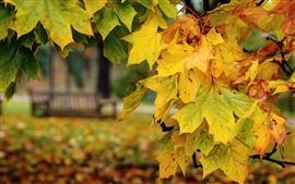 Осень, желтые листья клена