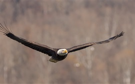 Preview wallpaper Bald eagle flight, wings, bird