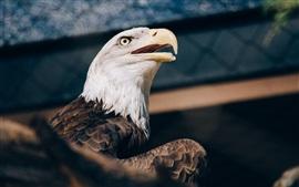 Águila calva, cabeza, pico