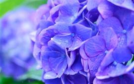 Hortensias azules hermosas flores macro fotografía, rocío