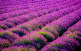 Preview wallpaper Beautiful lavender flowers field