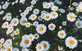 Preview wallpaper Beautiful white daisies flowers