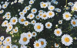 미리보기 배경 화면 아름다운 흰색 데이지 꽃