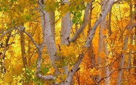 Березовый лес, желтые листья, осень
