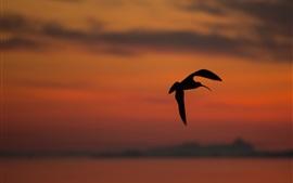 Vôo de aves, silhueta, por do sol