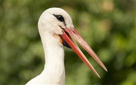 Fotografia de pássaros, cegonha, cabeça, bico