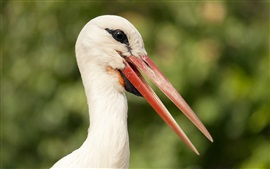 Фотографии птиц, аист, голова, клюв