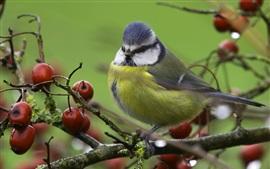 Птица, синица, ягоды, дерево