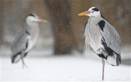 Preview wallpaper Birds in winter, heron, snow