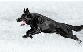 Preview wallpaper Black dog running, German shepherd