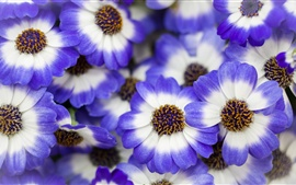 Preview wallpaper Blue white petals flowers, spring