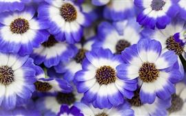 Flores de pétalas brancas azuis, primavera