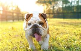Bulldog britânico, parque, grama, luz do sol