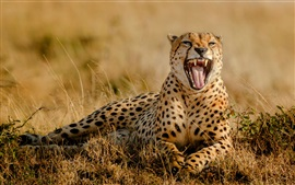 Preview wallpaper Cheetah yawn, mouth, tooth, grass, Africa