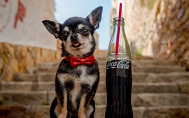 Preview wallpaper Chihuahua dog and Coca-Cola