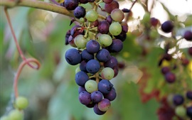 Colorful grapes, green, red, purple, fruit