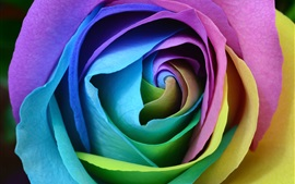 Preview wallpaper Colorful petals rose macro photography