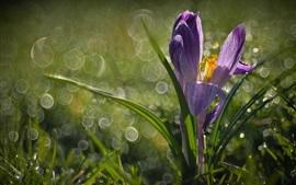 Preview wallpaper Crocus, grass, spring