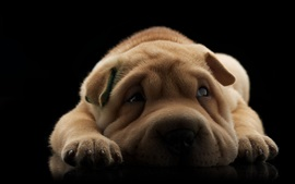 Cão bonito de Shar-Pei