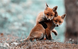 Preview wallpaper Cute foxes playing