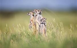 Meerkats bonitos estão na grama, família