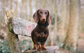 Preview wallpaper Dachshund, dog, bench