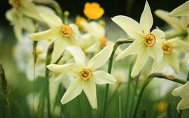 Aperçu fond d'écran Jonquilles, fleurs de jardin