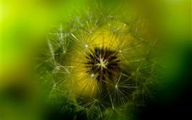 Aperçu fond d'écran Photographie macro de pissenlit, fond vert