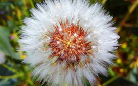 Preview wallpaper Dandelion, white flower macro photography