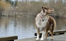 Cão olha para trás, tábua de madeira, água