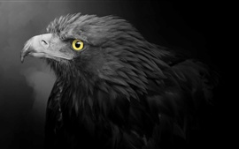 Eagle, black feathers, yellow eyes