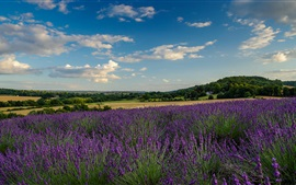 Preview wallpaper Farm, lavender field, trees, clouds
