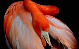 Flamingo, bird photography, red feathers, beak