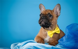Preview wallpaper French bulldog, blue background