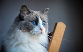 Olhos azuis peludos, gato, rosto, cadeira