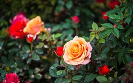 Garden flowers, roses, orange, red, pink
