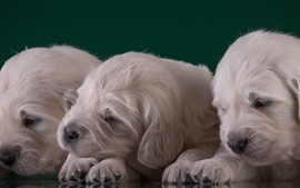 Preview wallpaper Golden Retriever, three puppies sleep