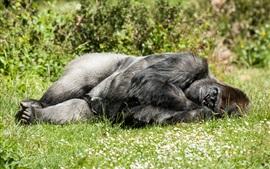 Gorila dormindo