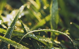 Grass leaves, water drops, dew, insect