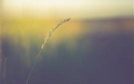 Haste de grama, sementes, bokeh