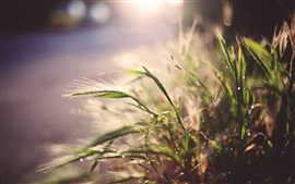 Grass, water drops, glare