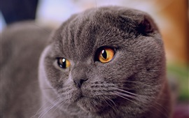 Grey fold cat face view, yellow eyes