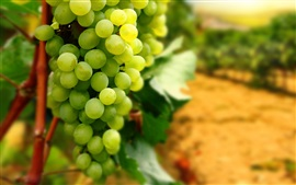 Preview wallpaper Green grapes, fruit, harvest
