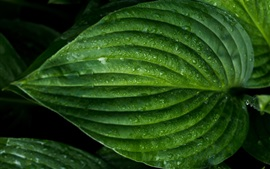 Preview wallpaper Green leaf macro photography, water drops