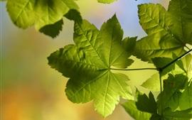 미리보기 배경 화면 녹색 단풍, 나뭇 가지, 햇빛