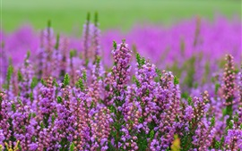 Preview wallpaper Heather pink flowers, blurry background
