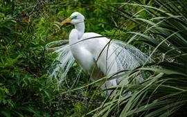Garça-real, pássaro de pena branca, grama