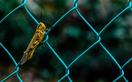 Preview wallpaper Insect, grasshopper, fence